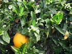 Orangers (3)