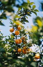 Orangers du maroc