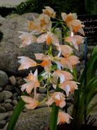Orchidée 14