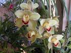 Orchidée cimbidium