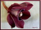 Orchidée de Mamie