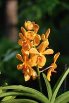 orchidée orange