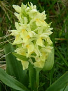 Orchidée sauvage jaune à Castelberto.