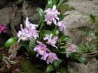 Orchidées Cattleya