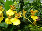 Orchidées jaunes