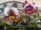 Orchidées Paphiopedilum