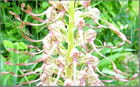 Orchis bouc détail