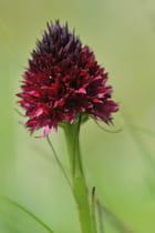 Orchis noir