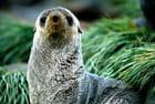 Otarie à fourrure antarctique