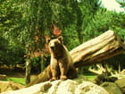 Ours brun des Pyrénées.