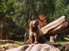 Ours des Pyrénées.