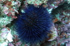 Oursin à 6 m de profondeur