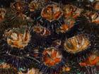 Oursins de Méditerranée