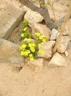 Oxalis en Fleurs