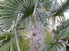 Palmier givré