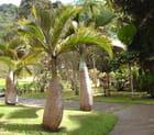 Palmiers jéroboames