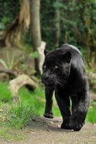 Panthère noir ...