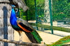 Paon du parc animalier, La Rochelle