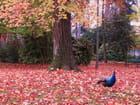 Paon sur tapis de feuilles.