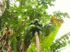 Papayes et bananes