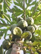 papayes vertes