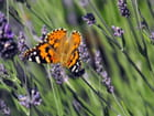 Papillon-03