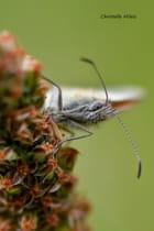 ...Papillon...