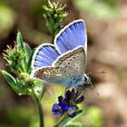 Papillon bel  azuré