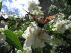 Papillon Carotte