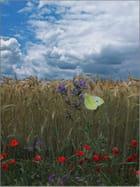 Papillon dans les blés