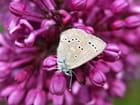 Papillon dans les lilas.