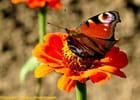 Papillon de novembre.