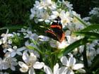 Papillon de Pâques