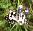 Papillon demi -deuil