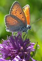 papillon des Alpes de la Suisse