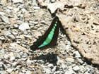 Papillon émeraude