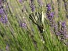 Papillon en train de butiner la lavande