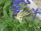 Papillon en vol