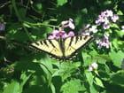 Papillon et Julienne des dames