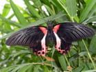 Papillon fabuleux