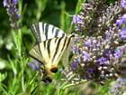 Papillon & lavande 2