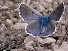 Papillon le bel argus
