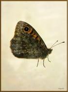 Papillon Némusien