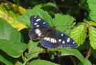 Papillon noir, Sylvain azuré