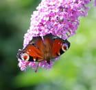 Papillon papillonnant