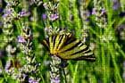 Papillon sue lavande