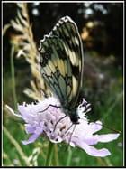 Papillon sur bleuet