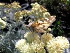 Papillon sur fleurs d'armoise