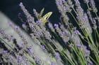 papillon sur fond  de lavande