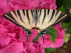 Papillon sur hortensia